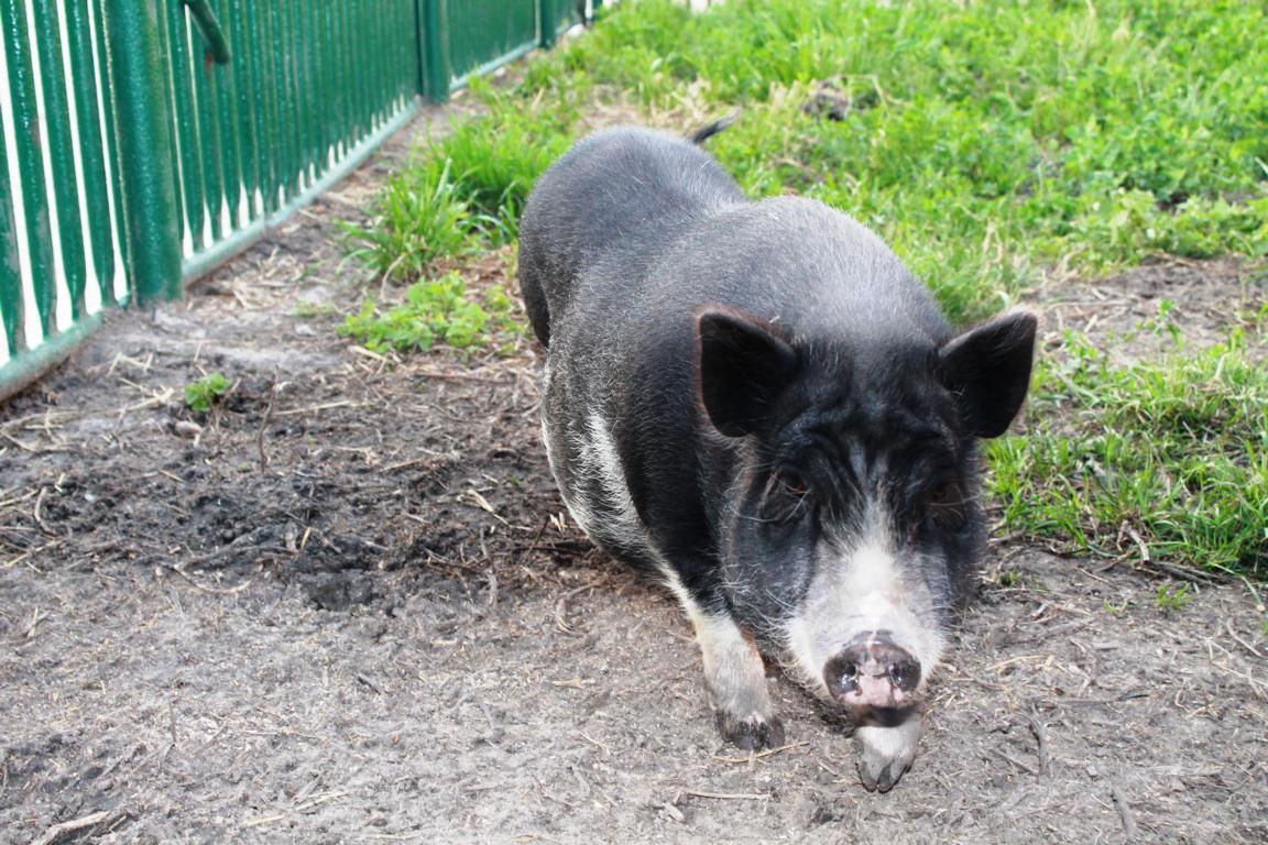 K1024_Ich bin ein Hängebauchschwein und nicht zum essen